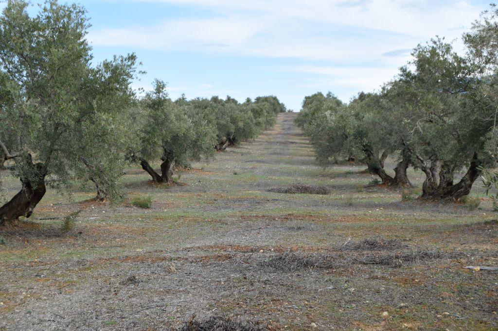 Vista-de-los-olivares